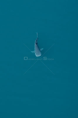 Whale shark (Rhincodon typus) aerial view of juvenile, La Paz Bay, Sea of Cortez (Gulf of California), Baja California, Mexico