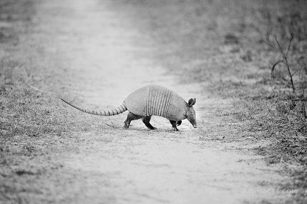 ARMADILLO CROSSING CUMBERLAND GEORGIA BLACK AND WHITE