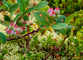 Blueberry and Sand Myrtle