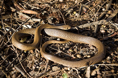 Pseudonaja textilis, Eastern Brown Snake or Common Brown Snake.