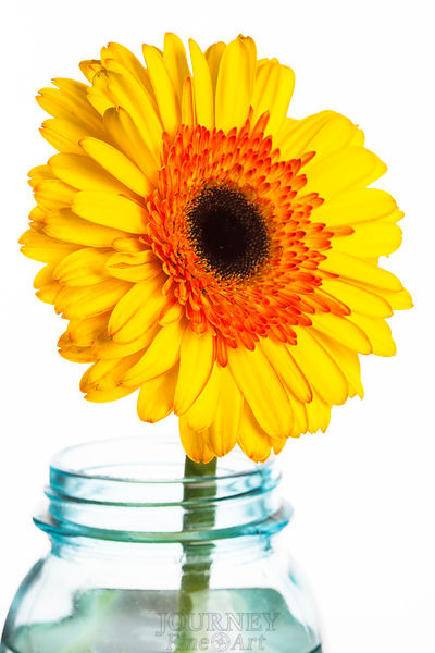 Yellow Daisy in Jar