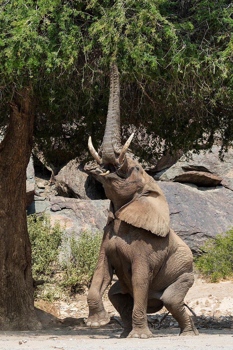 Desert-Adapted Elephant Reaching for Seed Pods in an Anna Tree