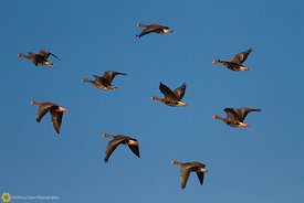White-fronted Geese in Flight #1