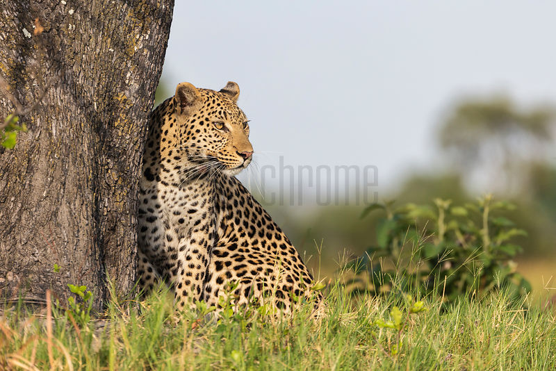 Portrait of a Female Leopard Next to a Tree