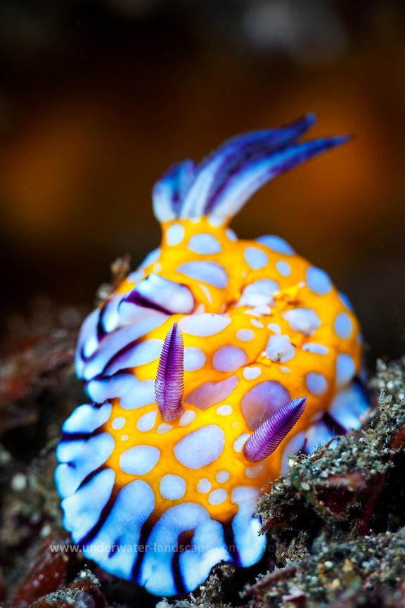 Nudibranch - Yellow Nudi - sea snail