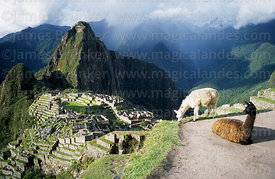 The Inca city of Machu Picchu, Huayna Picchu peak and llamas (Lama glama , Peru