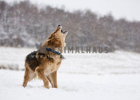 dog barking howling in snow