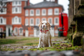 Female Beagle with bow tie sitting in on cobbleston in an old town