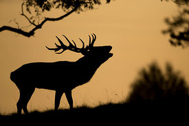 Red Deer Silhouette, Yorkshire