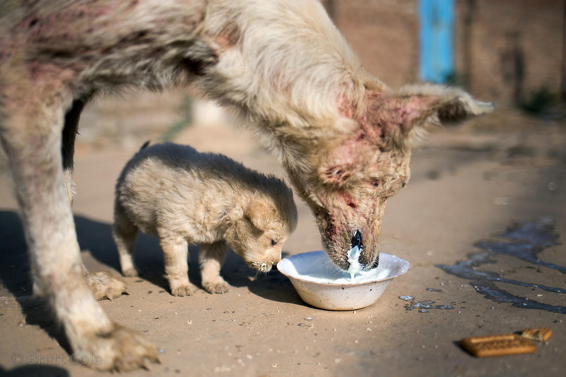 Street dog puppy and its mother (with severe mange) in Pushkar, Rajasthan, India. Taken one day before the puppy perished fro...