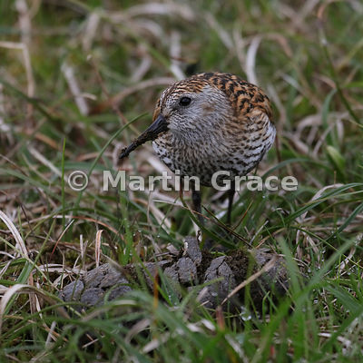 Dunlin (Calidris alpina) feeding on sheep faeces, Hermaness National Nature Reserve, Unst, Shetland: Image 5 of a sequence of 6