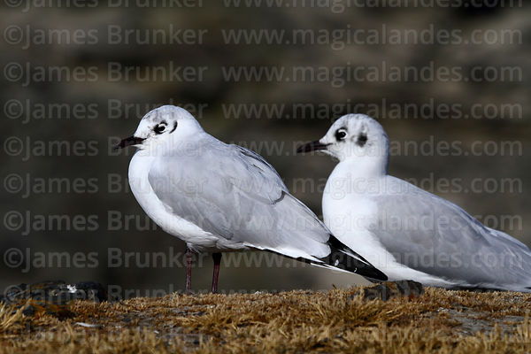 Adult Andean gulls (Larus or Chroicocephalus serranus) in winter / non-breeding plumage