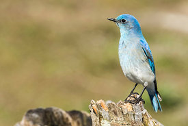 May - Mountain Bluebird