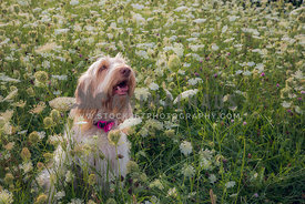 Spinone Italiano dog smiling in a field of clover