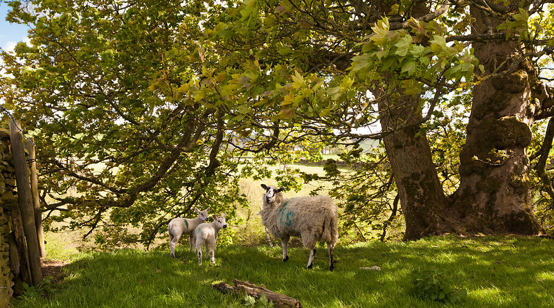 Sheep with lambs at Abney
