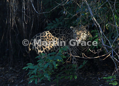 Male Jaguar (Panthera onca) known as Marley caught in a shaft of sunlight, River Cuiabá, Northern Pantanal, Mato Grosso, Brazil