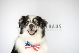 close up of smiling australian shepherd wearing American flag bow tie