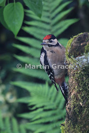 Juvenile Great Spotted Woodpecker (Dendrocopos major) perching on a moss-covered tree trunk with an out-of-focus fern frond b...