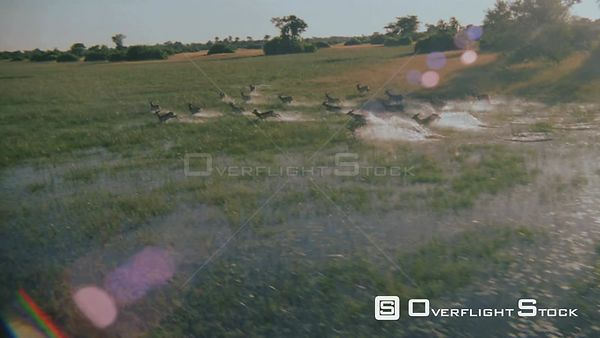 Aerial wide angle shot herd of antelope running across flooded plain with trees in background Okavango Delta Zimbabwe