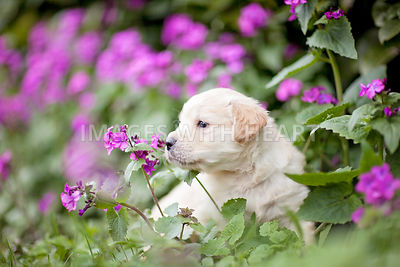 Golden Retriever puppy sitting in flower patch sniffing flower