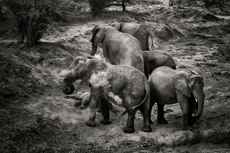 Elephants Dusting off at a Waterhole