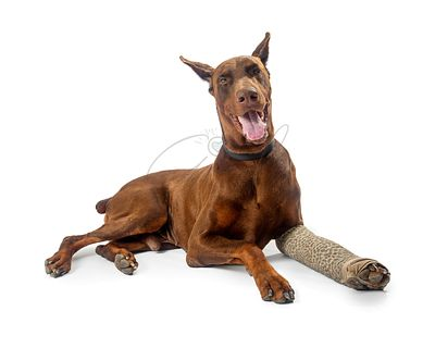 Doberman Pinscher Dog With Broken Leg