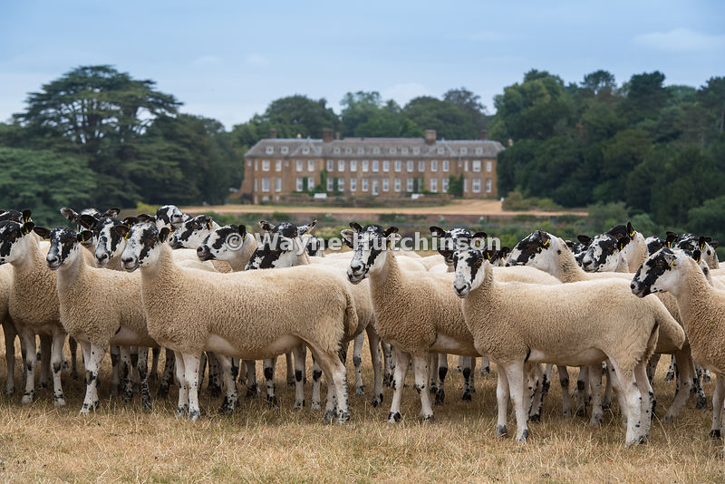 Mule ewes in Cotswolds countryside, with a stately home in the background. UK.