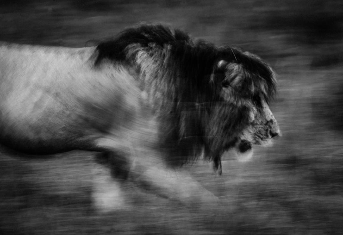 6403-Lion_running_to_hunt_Kenya_2015_Laurent_Baheux