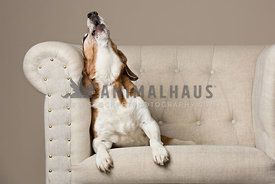 beagle howling on white chair