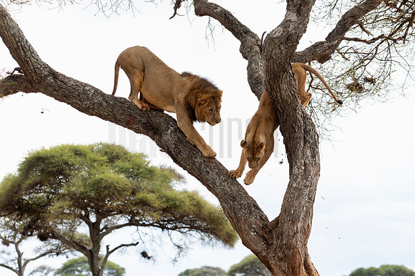 A Mating Pair of Lions Jump Down from an Acacia Tree