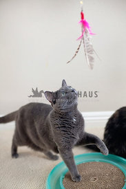 gray-adult-cat-with-paw-up-hunting-feather-toy