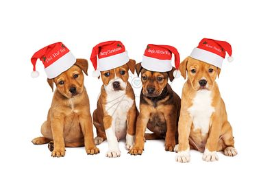 Four_Christmas_Puppies