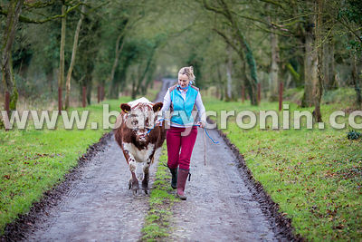 15th January 2016. Margaret Edgilll with 'Channel' a heifer of the 'Irish Moiled' variety on her farm Mount Briscoe, County O...