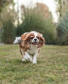 cavalier king charles spaniel running in grass and smiling