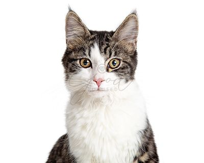 Pretty Young Tabby Cat Closeup Isolated on White