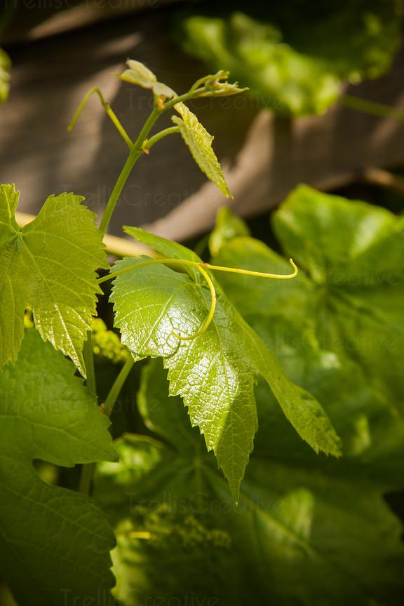 add to stock, grape leaf, stock, sun-kissed, vines, wine grape