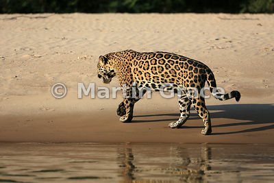 Female Jaguar 'Hunter' (Panthera onca) walks away from the edge of Three Brothers River, Northern Pantanal, Mato Grosso, Braz...