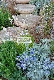 Association : Artemisia absinthium 'Powis Castle', Rosmarinus officinalis, Eryngium bourgatii, Paysagiste : Mike Harvey (Arun...