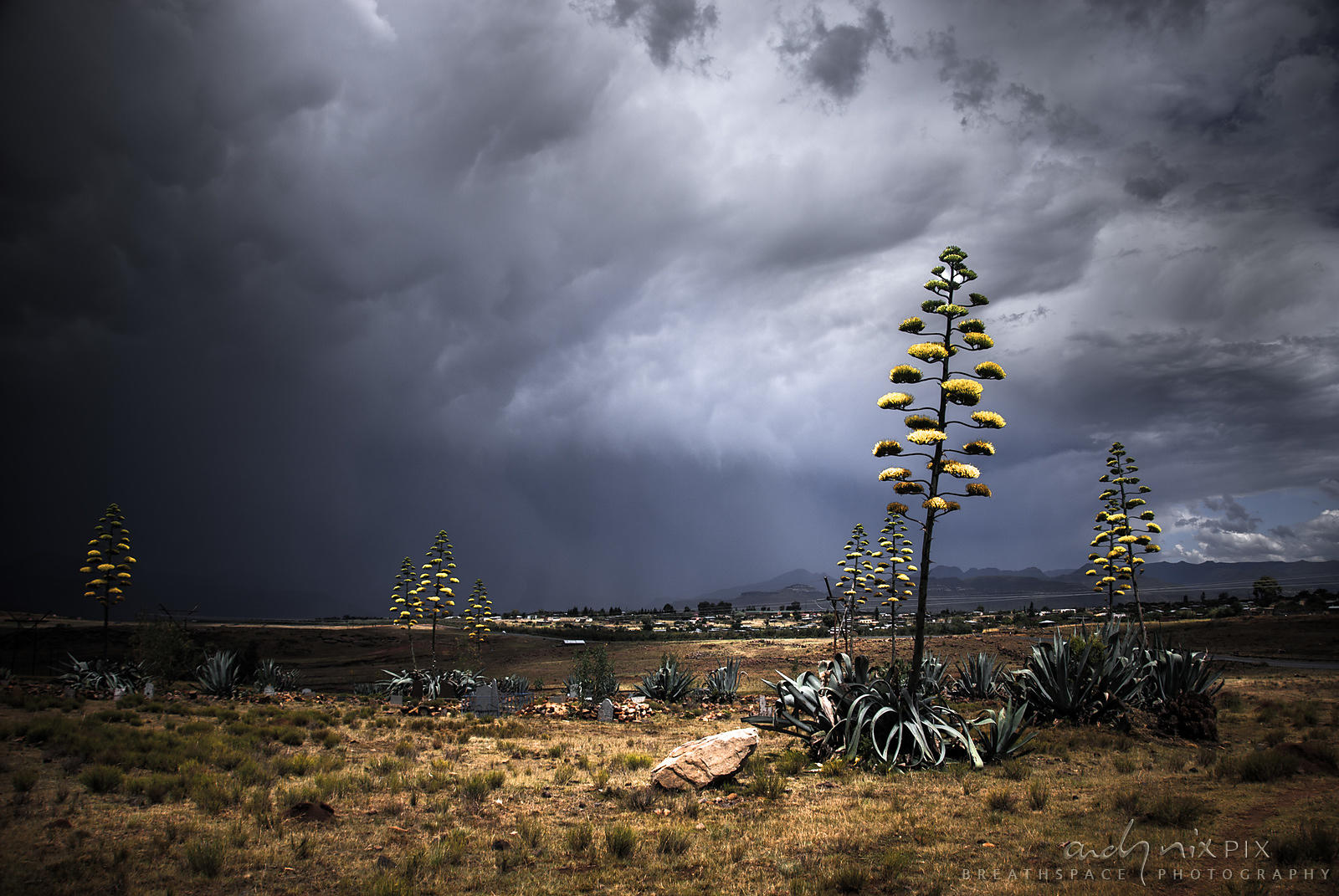 Dark thunderclouds form a background for yukka plants growing in a tiny graveyard with a few olf gravestones outside a rural ...