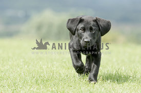 Black Labrador Puppy coming towards camera on grass
