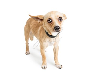 Scared Chihuahua Rescue Dog on White