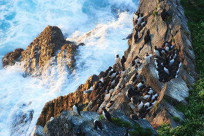 Common guillemot (Uria aalge) colony nesting on cliff, aerial view it the waves crashing on the rocks below. Hornoya, Varange...