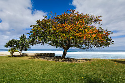 Big tree close to the beach of Grande Anse, Reunion Island