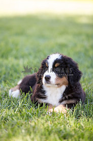 puppy laying down in the grass looking to the left