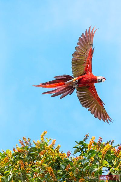 Scarlet macaw (Ara Macao) flying, Corcovado National Park, Costa Rica