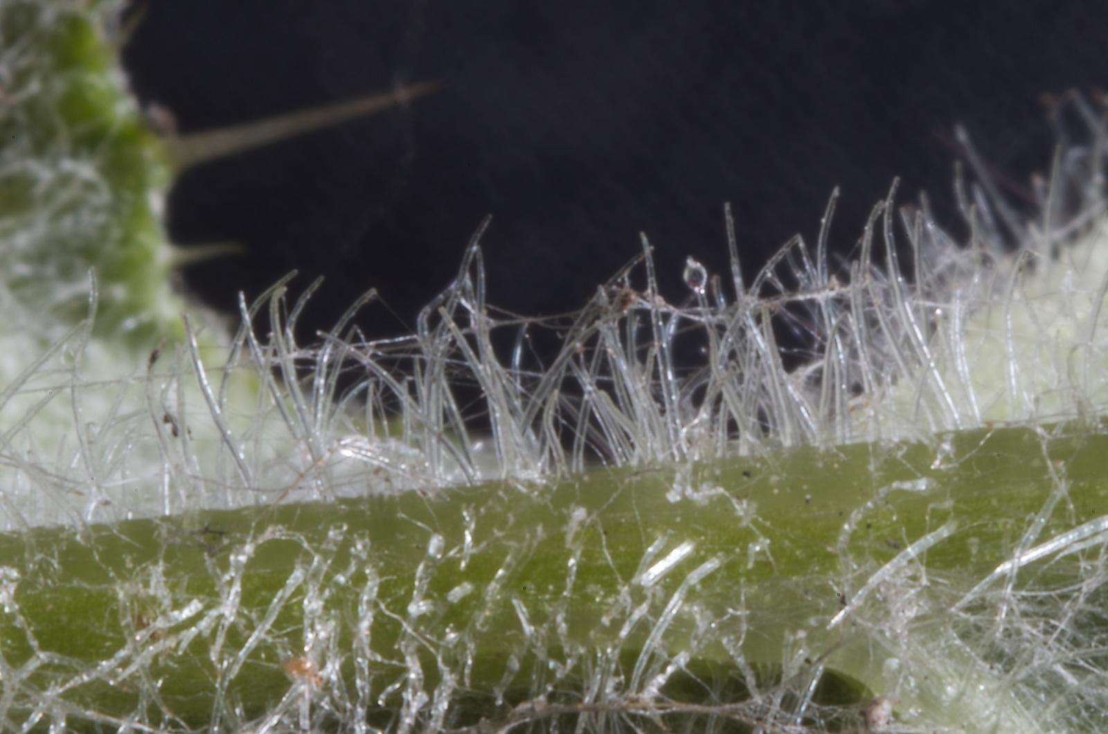 Hairs on thistle stem