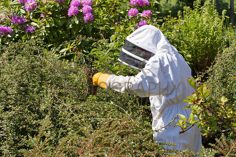 Bee keeper retrieving swarm from cotoneaster