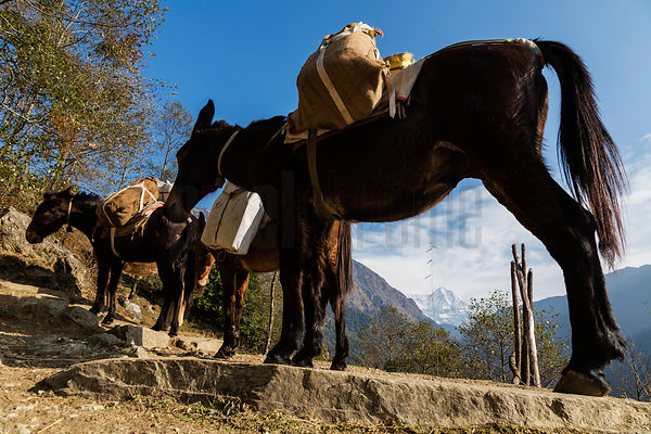 View of Annapurna South and Pack Mules on the Trail to Poon Hill