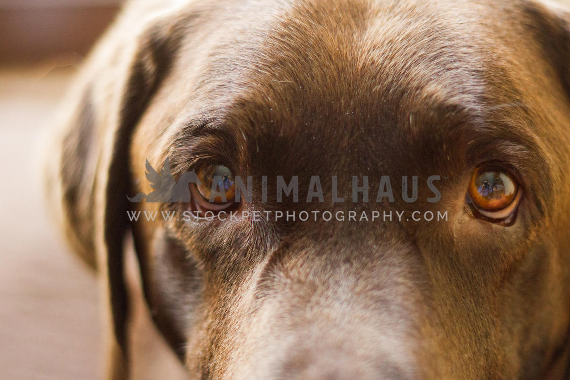 cocolate labrador dog face with droopy eyes