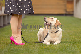 yellow lab dog lying in grass looking at owner
